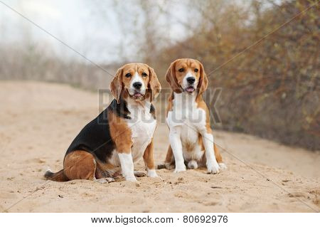 Two Funny Beagle Dogs