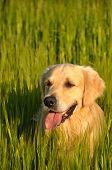 Beautiful Golden Retriever hiding in the grain field poster