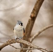 Tufted titmouse Baeolophus bicolor perched on a tree branch poster