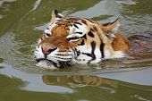 Close-up portrait of a swimming Siberian Tiger poster