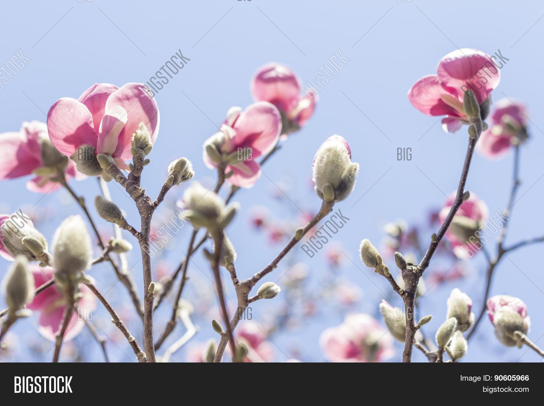 Magnolia Tulip Tree Image Photo Free Trial Bigstock