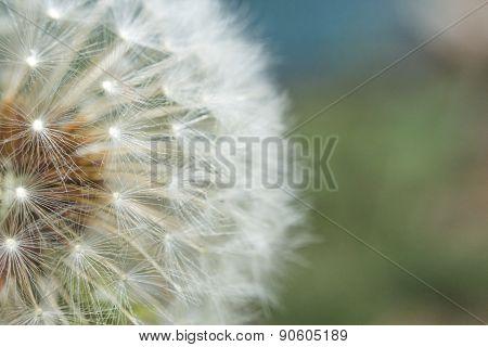 Seeding Dandelion Flower