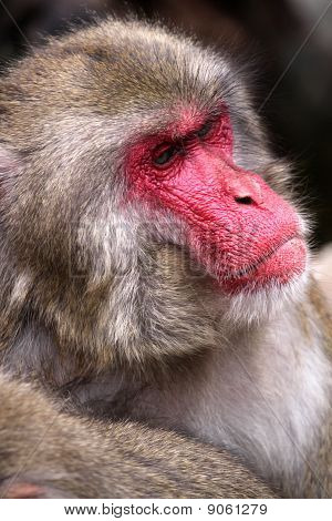 Portrait of adult male japanese macaque - Macaca fuscata poster
