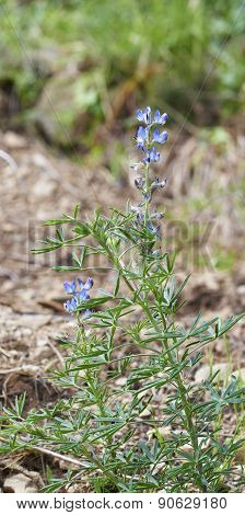 Rosmarinus Flower