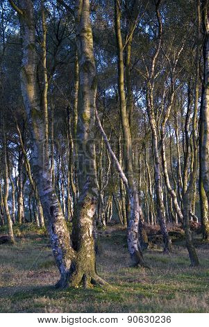 twisted silver birch trees
