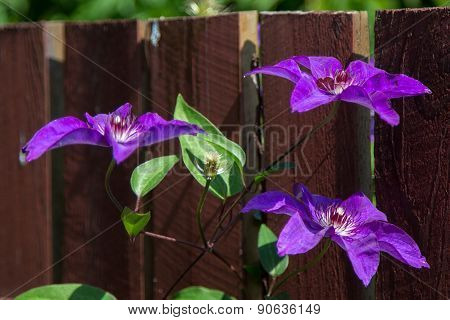 Three Purple Flowers On A Branch On The Fence