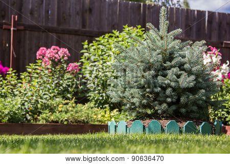 Dwarf Spruce On A Lawn
