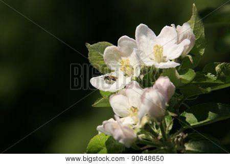 Bee gathering white flowers