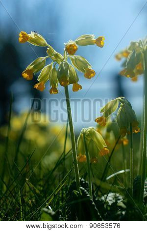 Cowslip Flowers And Spider In Spring