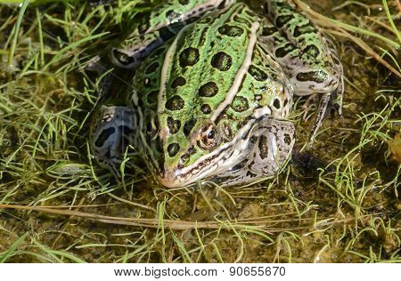 Green Northern Leopard Frog