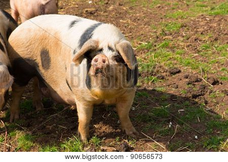 Pig with black spots looking to camera inquisitive and questioning