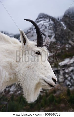 Portrait Of A Rocky Mountain Goat