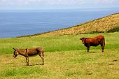 farm animals at the coast in azores poster