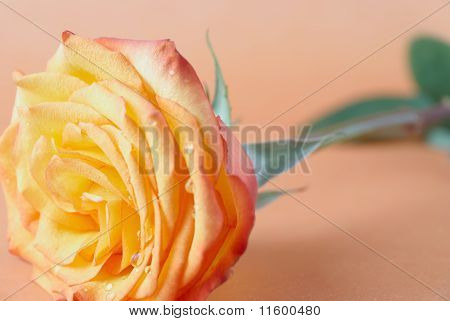 Orange Rose With Drops Of Water