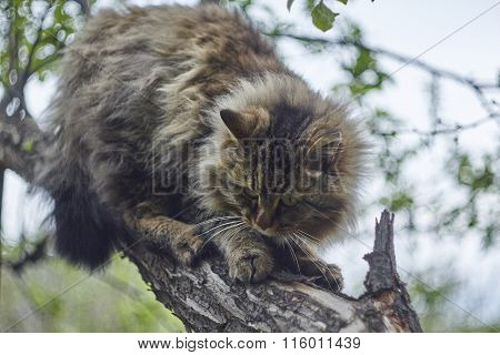 Siberian cat is sitting on apple tree and watching down. Bokeh background. Nice cat.