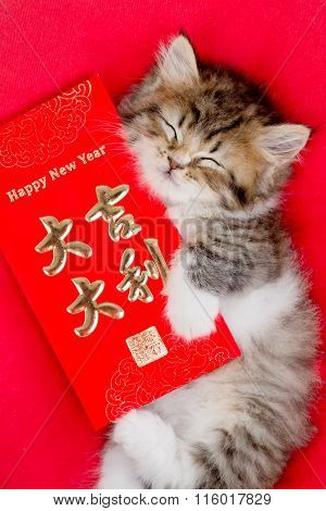 Happy little tabby Asian kitten hugging Chinese New Year red envelope