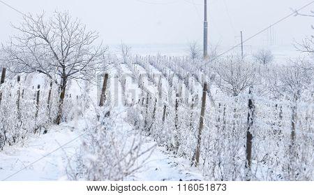 Wine Yard In Winter Full Of Snow