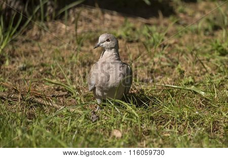 Collared Dove Streptopelia decaocto on the grass