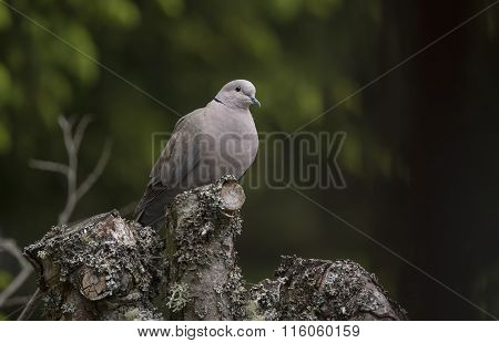 Collared Dove Streptopelia decaocto perched on top of a tree trunk
