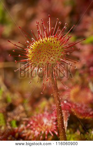 Carnivorous plant in the bog (natural environment). round-leaved sundew or common sundew - Drosera rotundifolia poster