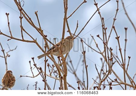 Female House Sparrows (Passer domesticus) perching on a branch during Winter in Europe