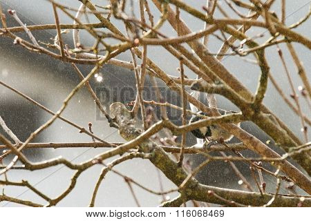 A small passerine bird, Coal tit (Periparus ater) pecking seeds on the branch in the winter in Austria