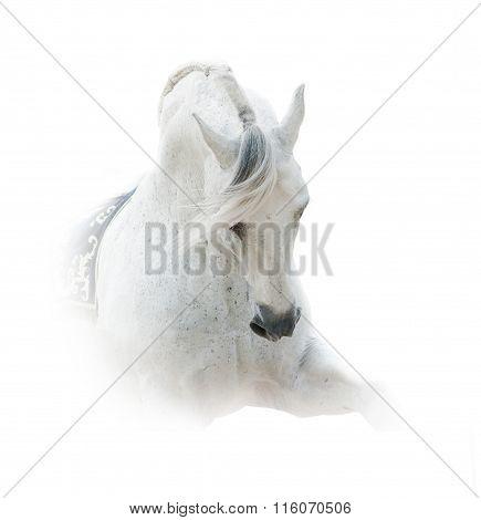 White Spanish Stallion