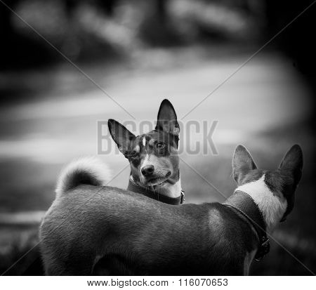 Two Basenji In Monochrome Tones