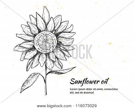 Hand Drawn Vector Illustration - Sunflowers Background. Vintage