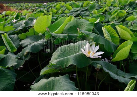 The pond is dotted with water lilies