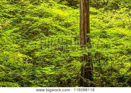 A young redwood tree pokes through the colorful underlayer in Redwood nationalPark.