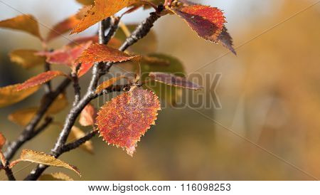 Close-up, macro on birches, Betula pubescens. Colorful autumn, fall.