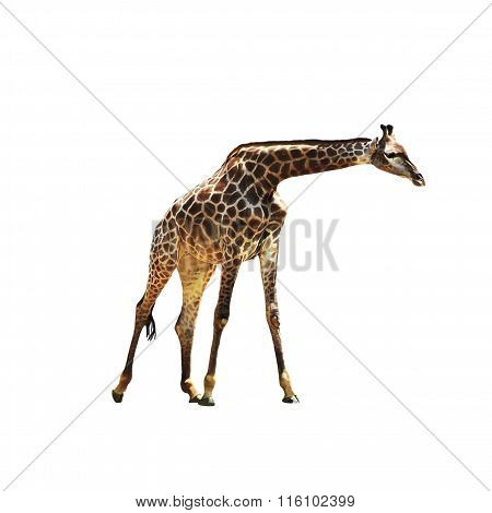 Beautiful graceful giraffe on isolated background. Beautiful African animal with a long neck, spotted giraffe. poster