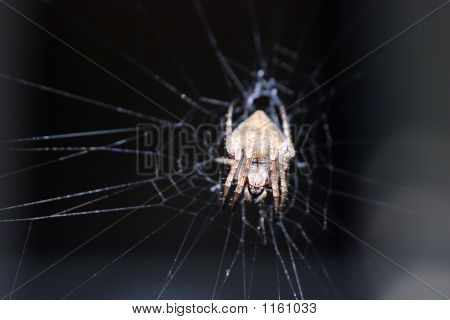 Porch Spider Face