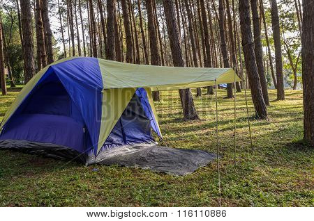 Camping Tents In Pine Tree Forest