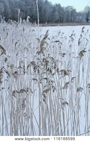 Phragmites, The Common Reed, Panicle