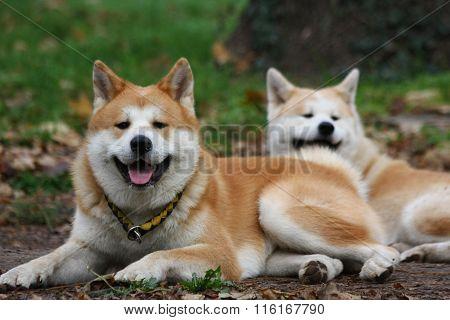 Akita Dogs In Public Park