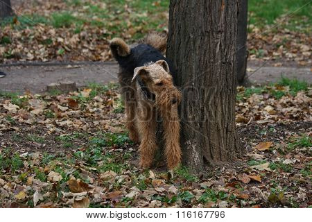 Airedale Terrier In Public Park