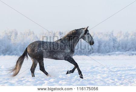 Grey Spanish horse cantering on meadow in fresh snow