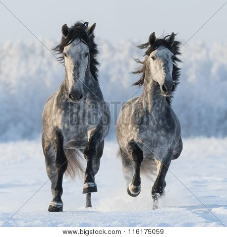 Two galloping grey Spanish horses. Left horse are in focus.