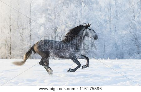Purebred Spanish horse galloping across a winter snowy meadow