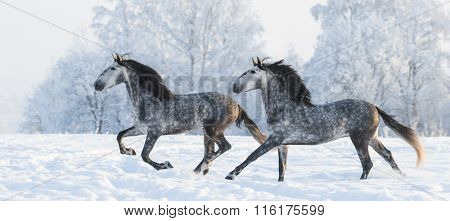 Two grey Andalusian stallions gallop in winter