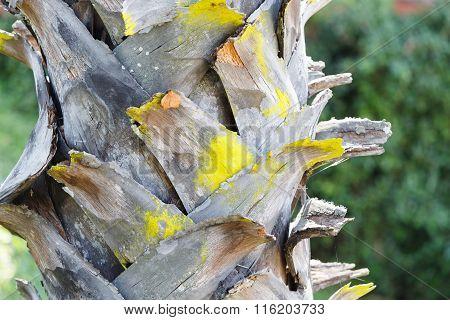 Bark Of Plam Oil Tree