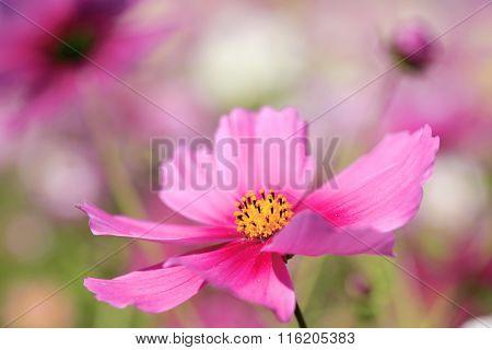 Beautiful cosmos flowers  in?Awaji Island, Hyogo Prefecture , Kansai, Japan