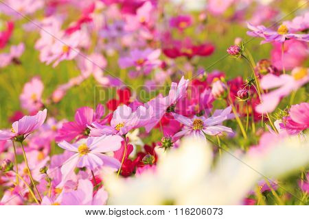 Beautiful cosmos flowers  in Awaji Island, Hyogo Prefecture , Kansai, Japan