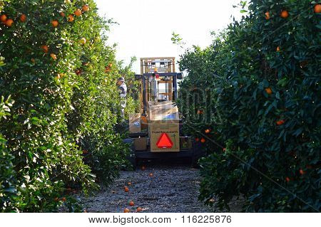 Fork Lift in Orange Groves