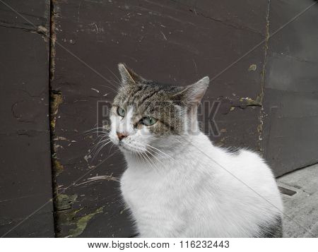 Domestic cat domesticated housecat aka Felis catus or Felis silvestris mammal animal poster