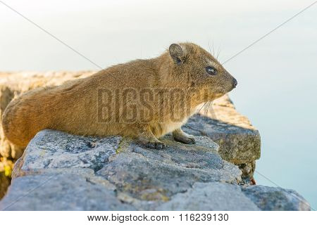 Rock Hyrax On Table Mountain Cape Town South Africa