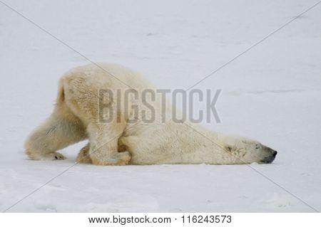 Polar Bear Slide