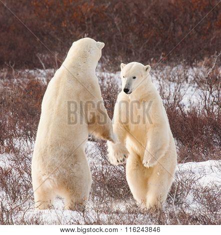 Polar Bears Boxing